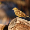 Gulspurv / Yellowhammer