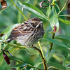 Sivspurv / Common reed bunting