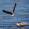 Svartbak / Great black-backed gull