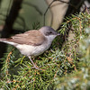 Møller / Lesser Whitethroat
