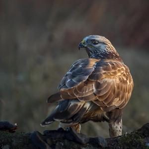 Fjellvåk  - Rough-legged buzzard
