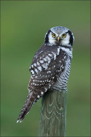 Haukugle - Northern Hawk-Owl