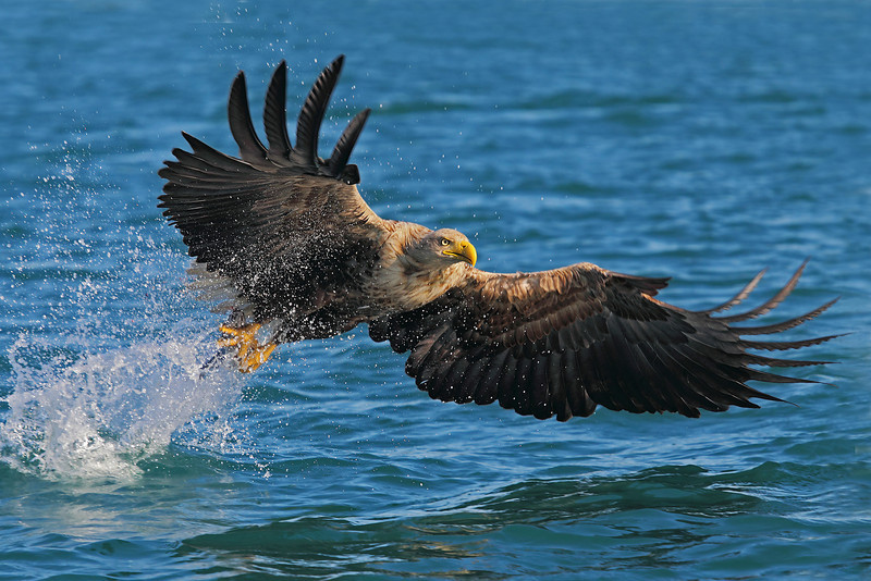 Havørn  /  White Tailed Eagle
