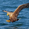 Havørn på vei til og sikkre seg dagens middag, se på fokuset og klørne til havørna...