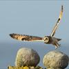 <center>Short-eared Owl / Jordugle</center>