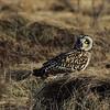 Jordugle  / Short-eared Owl