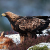 Golden Eagle  /  Kongeørn