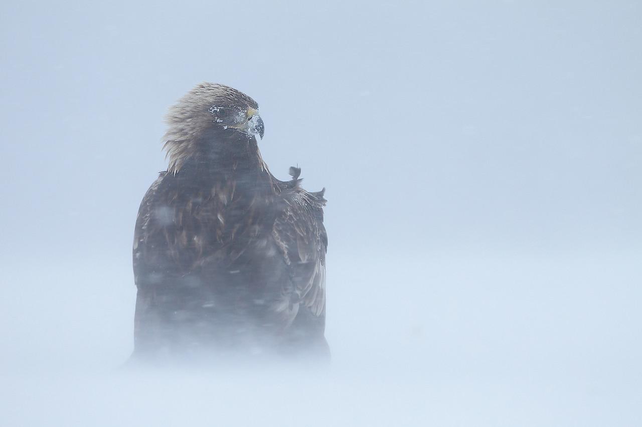 Golden Eagle  /  Kongeørn