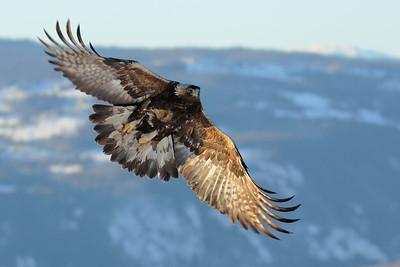 Kongeørn - Golden Eagle