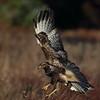 Musvåk  /  Common Buzzard