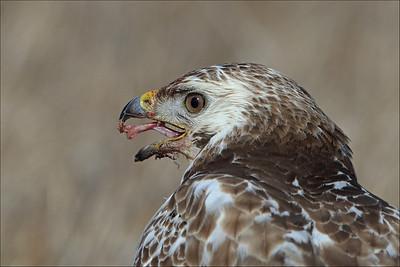 Musvåk - Common Buzzard