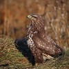 Musvåk  /  Common Buzzard