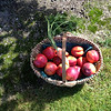Apples and Nectarines on the property grounds!Yum!