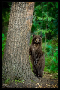 """Big Tree...Little Bear"""