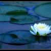 """Landscaped Lily"""