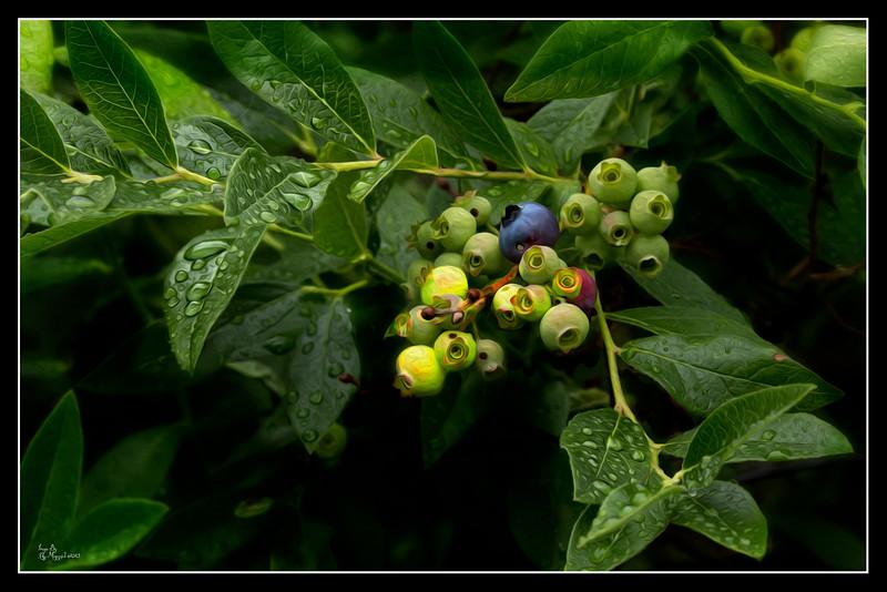 """""""Rainy Day Blueberries"""""""
