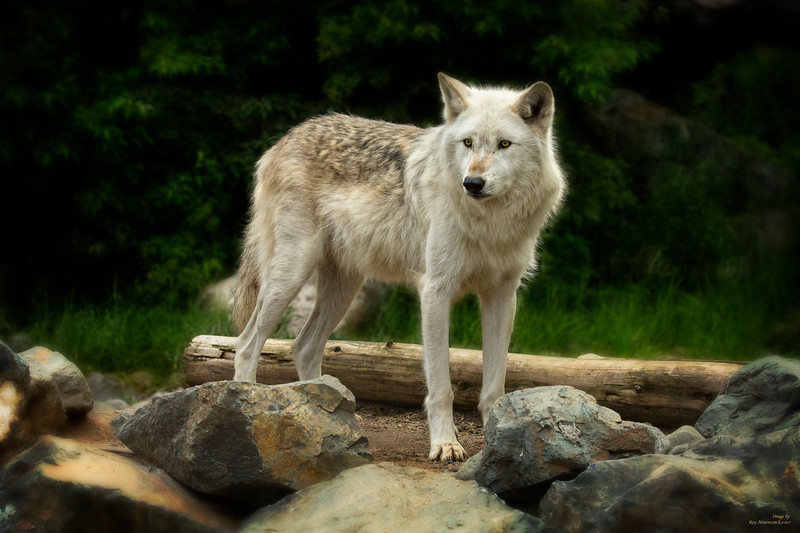 """Wolf Analog"""