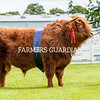 Highland champion Gusgurlach of Balmoral from HM the Queen's Balmoral fold, Aberdeenshire.