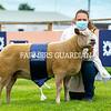 MV inter-breed champion, ewe from Bruce and Gregor Ingram