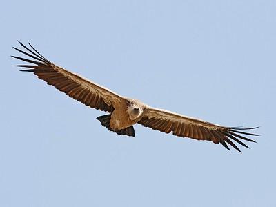2. Griffon Vulture, Extremadura, Spain, 2008