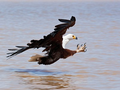 6. African Fish Eagle, Kenya, 2007