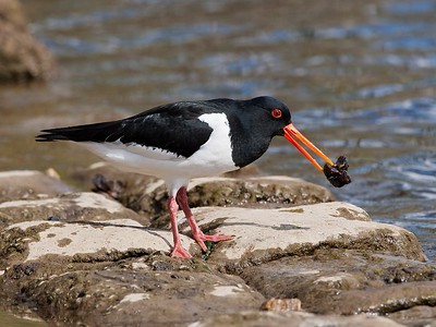 7. Oystercatcher, with fresh water mussel, Wroxham Broad, Norfolk, UK, 2008