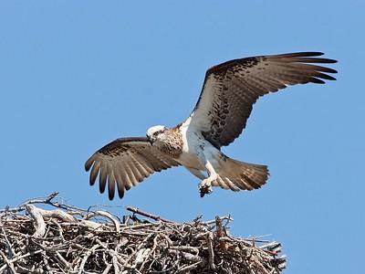 5. Osprey, Yepoon, Australia, 2007