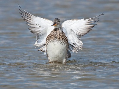 8. Gadwall, Cley, Norfolk, UK, 2008