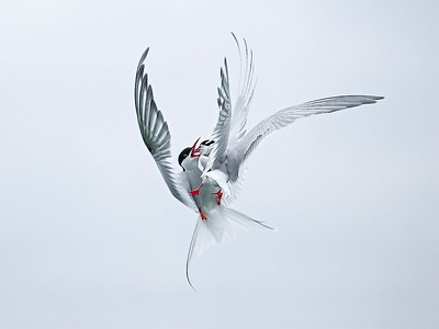 3. Arctic Terns fighting, Farne Islands, Northumberland, UK, 2008