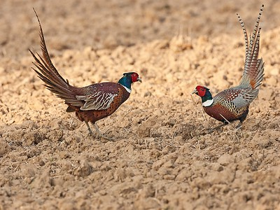 14. Pheasants, Blickling, Norfolk, UK, 2008