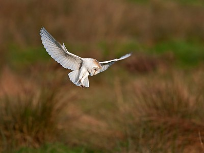 13. Barn Owl, Bkickling, Norfolk, UK, 2008