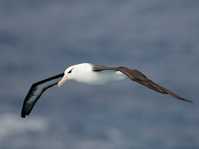 Black-browed Albatross (Thalassarche melanophrys) adult at sea Drakes Passage, Antarctica