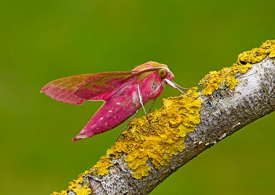 03 Elephant Hawkmoth on Xanthoria species