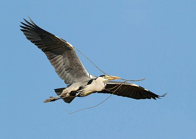 02 Grey Heron with nesting material
