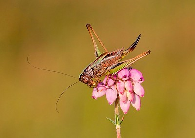 19 Female Bog Bush-cricket on Cross-leaved Heath