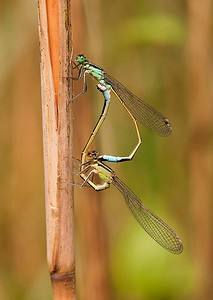 07 Blue-tailed Damselflies mating