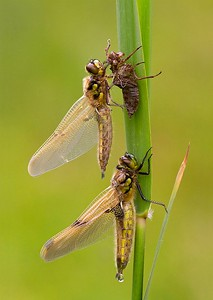 01 Four-spotted Chaser Dragonflies emerging