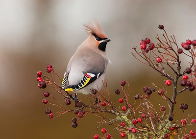 08 Waxwing in profile