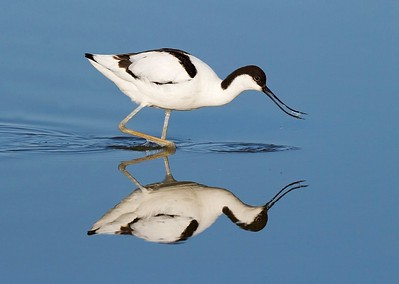 16 Avocet feeding