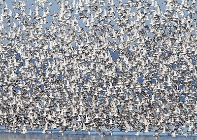 11 Red Knot flock in flight
