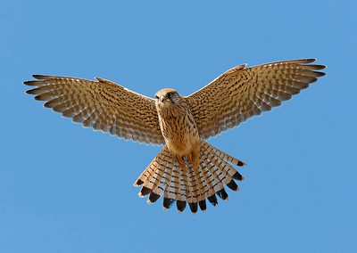 06 Kestrel hovering