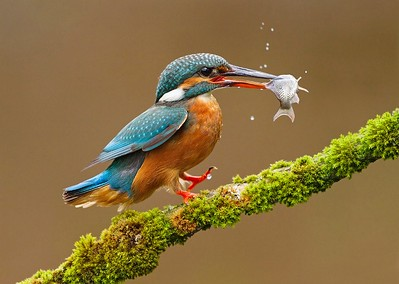 14 Female Kingfisher with prey