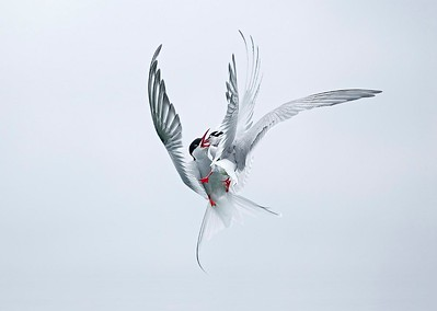 04 Arctic Terns fighting