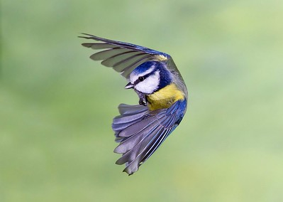13 Blue Tit in flight