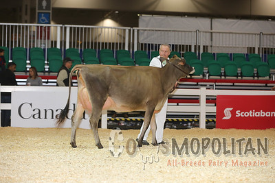 Royal Jersey Intermediate Cows