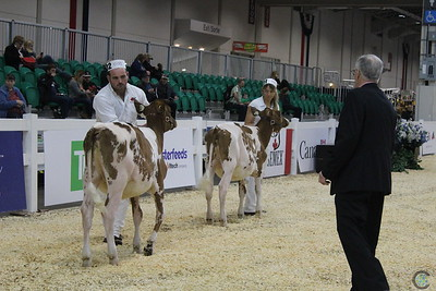 RWF Ayrshire Heifers 2016