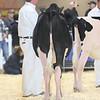 Royal16_Holstein_L32A3622