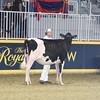 Royal16_Holstein_L32A3812