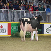 Royal16_Holstein_L32A4478