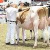 Royal16_Holstein_L32A4343